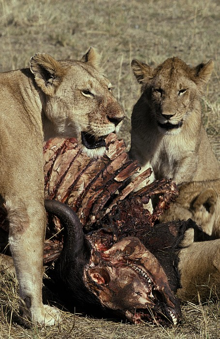 Masai Mara National Park Kenya Photograph - A Pride Of African Lions Feed by Jason Edwards