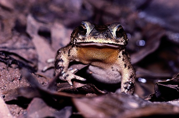 South America Photograph - A Rain Forest Toad Of The Family by Mattias Klum