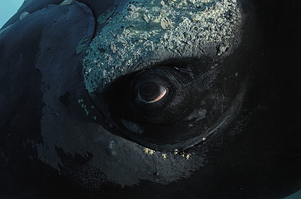 Underwater Photograph - A Right Whales Eye Covered With Tiny by Brian J. Skerry
