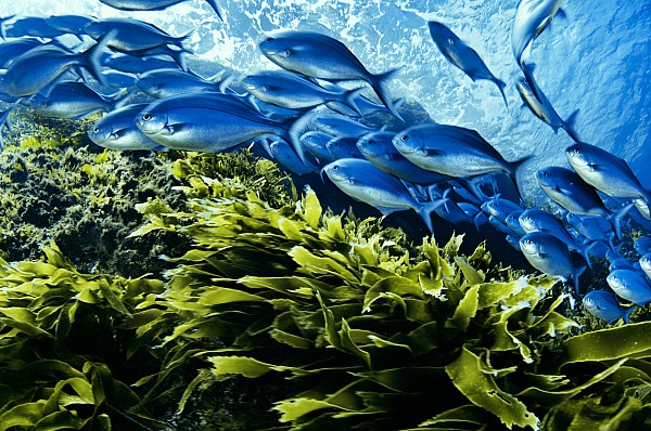 Underwater Photograph - A School Of Blue Maomao Swim by Brian J. Skerry