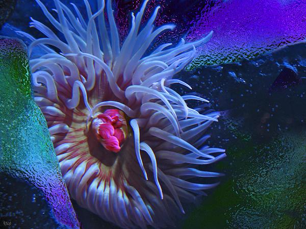 Sea Anemone Photograph - A Sea Anemone by Natalya Shvetsky
