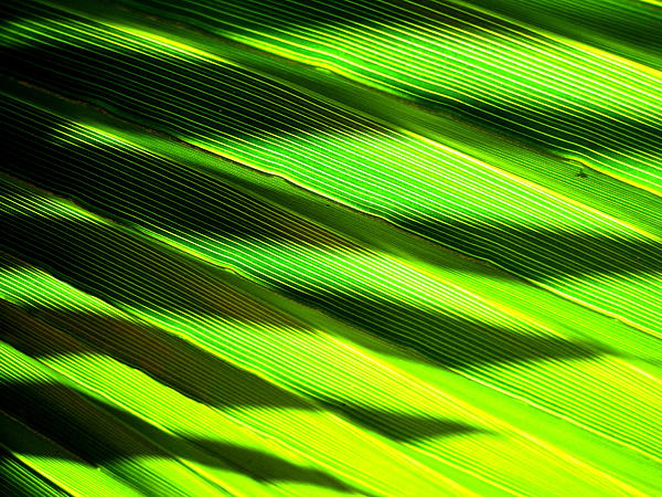 Palm Photograph - A Shadow Of A Palmfrond On A Palmfrond by Catherine Natalia  Roche
