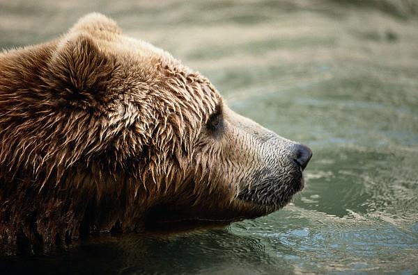 Maryland Photograph - A Side-view Of A Captive Kodiak Bear by Tim Laman