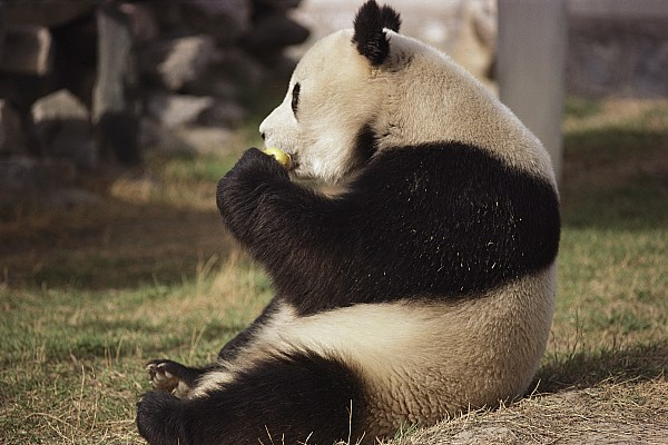 Asia Photograph - A Side View Of A Panda Bear Sitting by Todd Gipstein