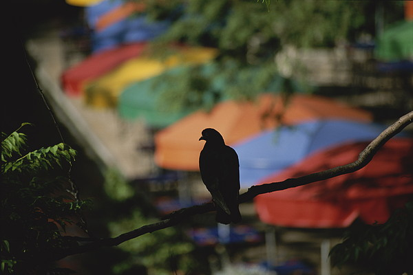 Animals Photograph - A Silhouetted Pigeon Surveys by Stephen St. John