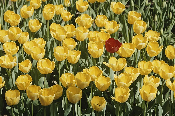 Plants Photograph - A Single Red Tulip Among Yellow Tulips by Ted Spiegel