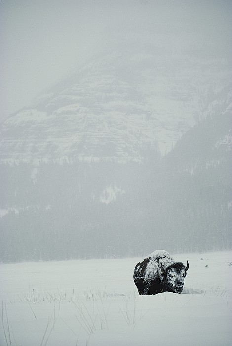 Animals Photograph - A Snow-covered American Bison Stands by Michael S. Quinton