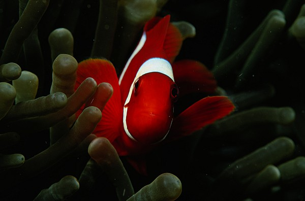 Great Range Photograph - A Spinecheek Anemonefish Premnas by Tim Laman