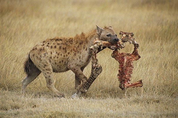 Africa Photograph - A Spotted Hyena Carries A Piece by Tim Laman