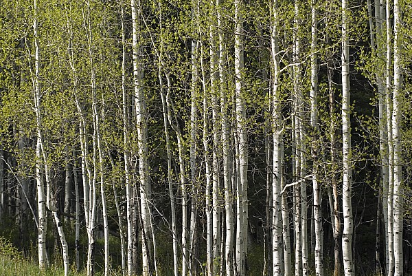 Aspen Trees Photograph - A Stand Of Aspen Trees At Wolf Creek by Rich Reid