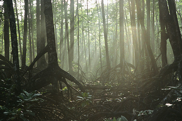 Pacific Islands Photograph - A Tangle Of Buttressed Roots In A Misty by Tim Laman