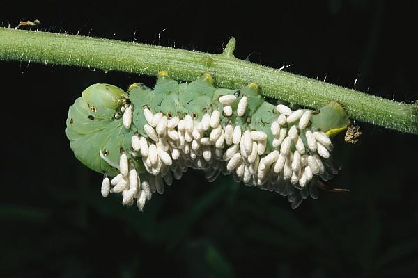North America Photograph - A Tobacco Hornworm Caterpillar by Brian Gordon Green