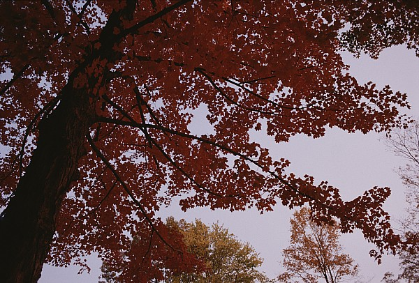 Plants Photograph - A Tree Displays Bright Red Autumn by Stephen Alvarez