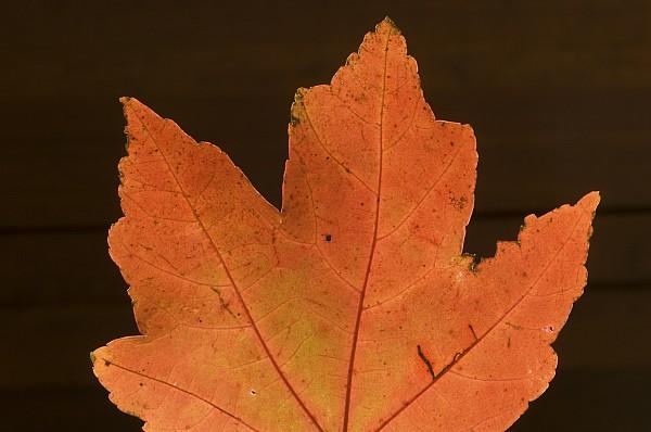 Atlanta Photograph - A Vibrant Colored Leaf by Joel Sartore