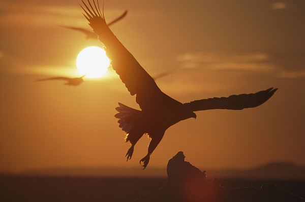 Sun Photograph - A White-tailed Eagle In Flight by Tim Laman