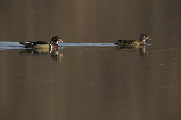 Wood Duck Photograph - A Wood Duck Aix Sponsa Pair by Tim Laman