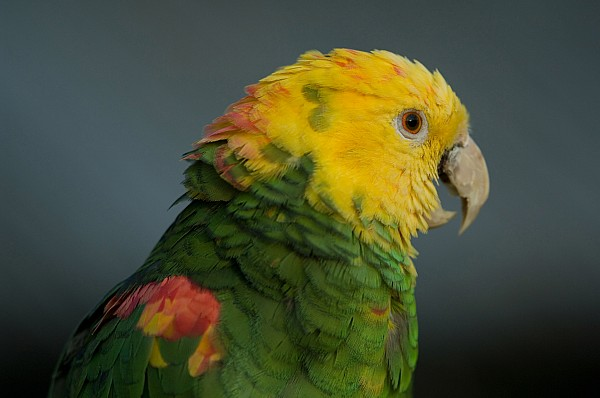 Property Released Photography Photograph - A Yellow-headed Amazon Parrots Amazona by Joel Sartore
