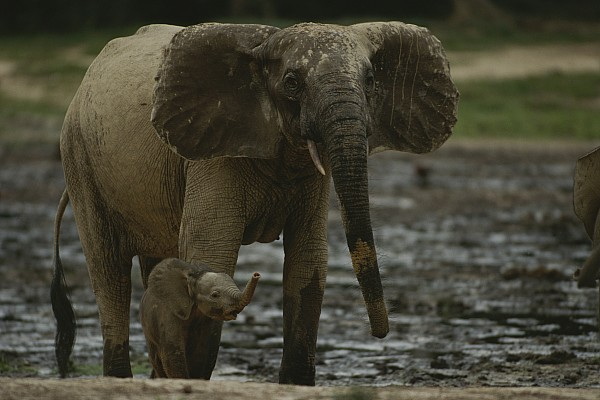 Africa Photograph - A Young Female Forest Elephant Stands by Michael Fay