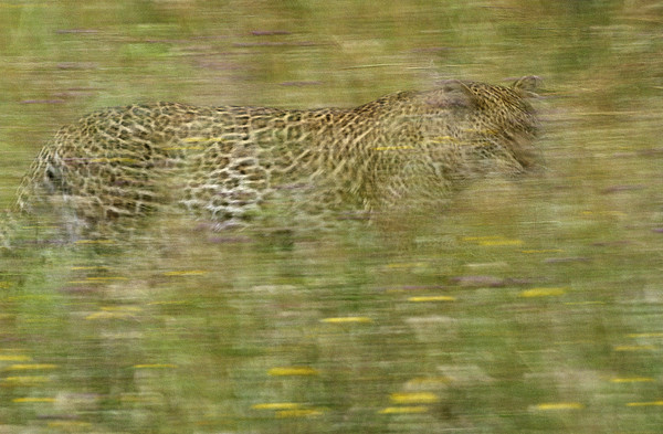 Africa Photograph - A Young Female Leopard Moving by Michael Melford