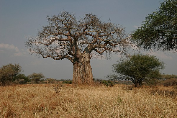 Africa Photograph - African Baobab Tree In The Tarangire by Gina Martin