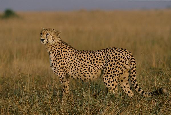 Masai Mara National Reserve Photograph - African Cheetah Acinonyx Jubatus by Michael Nichols