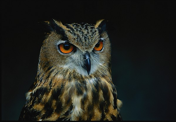 african Eagle Owls Photograph - African Eagle Owls Are Among The 200 by Joel Sartore