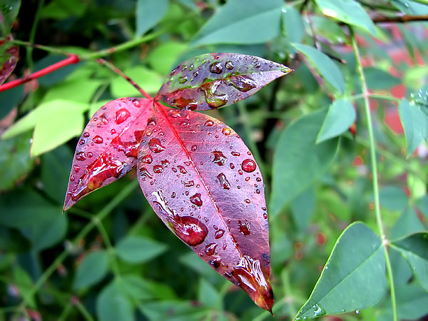 Bushes Photograph - After The Rain by Carolyn Marshall