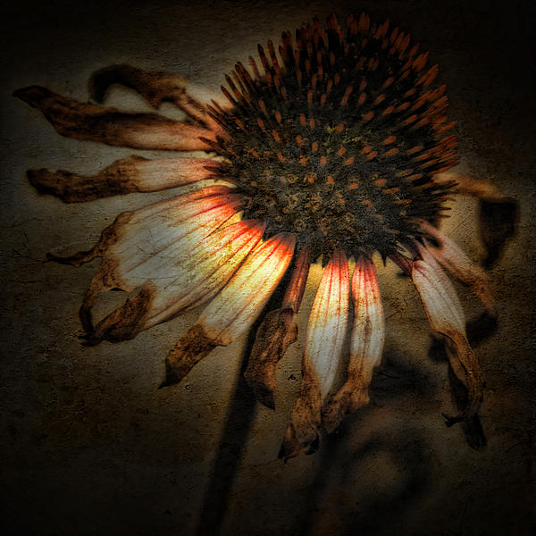Coneflower Photograph - Ageless Beauty by Bonnie Bruno