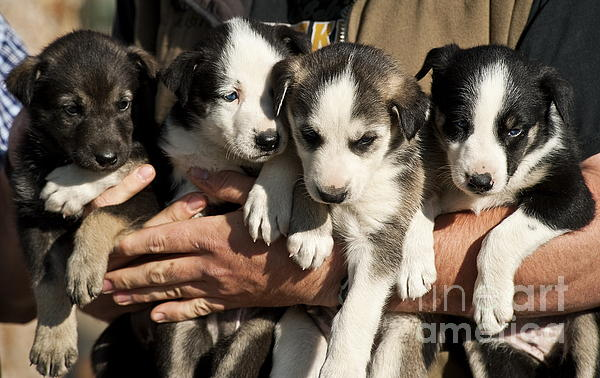 Alaska Photograph - Alaskan Huskey Puppies by John Greim