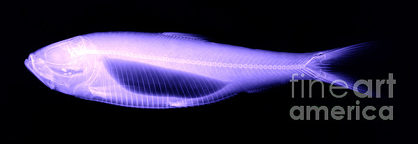 Xray Photograph - Alewife by Ted Kinsman