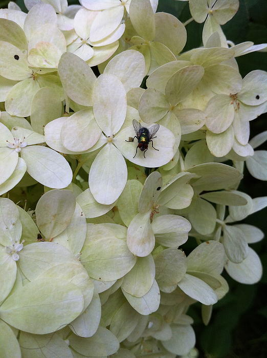 Hydrangea Photograph - All Alone In The Limelight by Nelson F Martinez