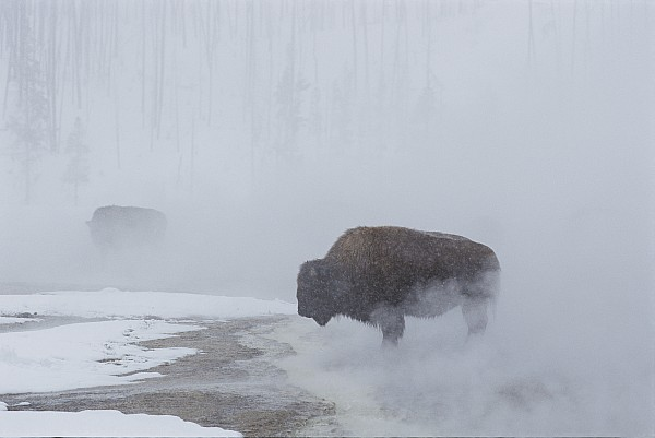 Yellowstone National Park Photograph - American Bison Bison Bison Graze by Norbert Rosing