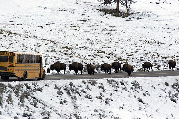 Day Photograph - American Bison In The Road Halt Traffic by William Allen