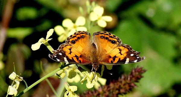 Butterfly Photograph - American Painted Lady I by Bruce W Krucke