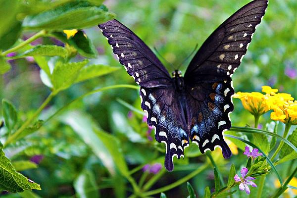 Butterfly Photograph - Amy by Hannah Miller