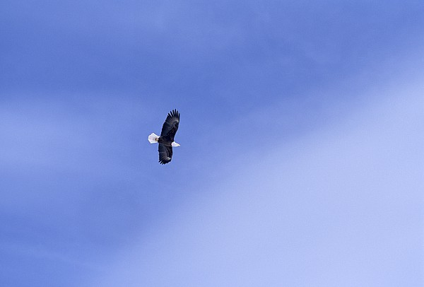 Merrymeeting Bay Photograph - An American Bald Eagle In Flight by Heather Perry