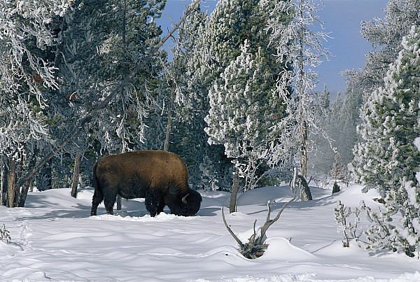 Yellowstone National Park Photograph - An American Bison Bison Bison Forages by Norbert Rosing