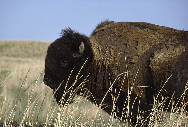 North America Photograph - An American Bison Bison Bison Still by James P. Blair