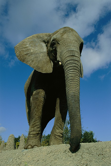 Low Angle View Photograph - An Elephant At The Pittsburgh Zoo. This by Michael Nichols