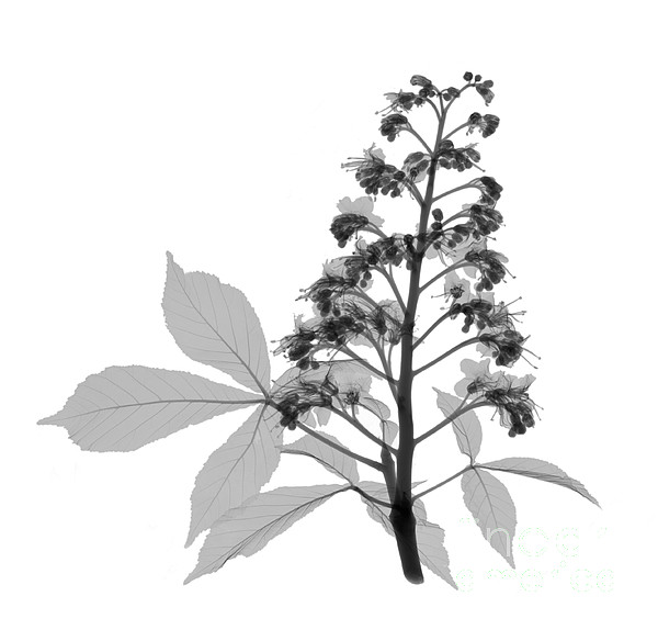Xray Photograph - An X-ray Of A Chestnut Tree Flower by Ted Kinsman
