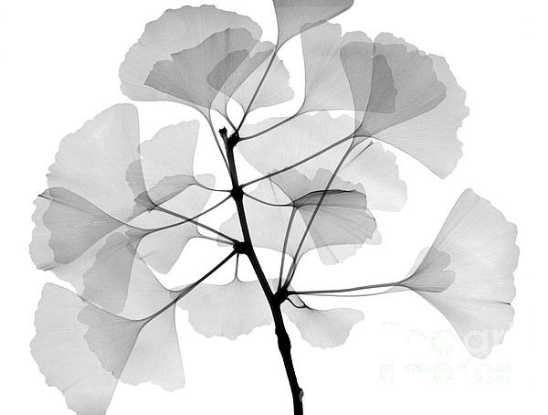 Xray Photograph - An X-ray Of Ginko Leaves by Ted Kinsman