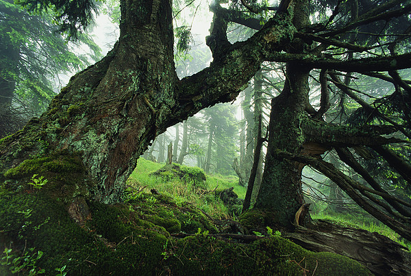 Europe Photograph - Ancient Fir Trees In Forest by Norbert Rosing