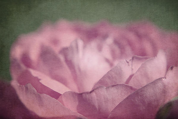 Flower Photography Prints Photograph - Antique Pink by Aimelle