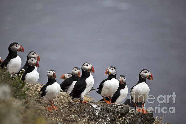 Atlantic Puffin Photograph - Atlantic Puffins On Cliff Edge by Greg Dimijian