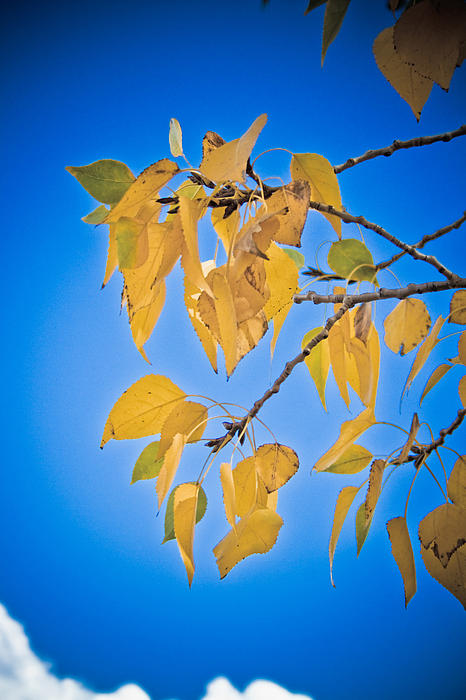 Autumn Photograph - Autumn Aspen Leaves And Blue Sky by James BO  Insogna