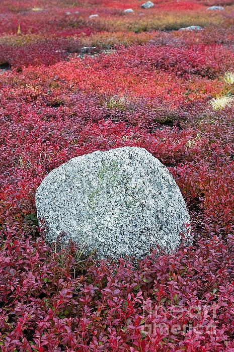 Maine Photograph - Autumn Blueberry Field by John Greim