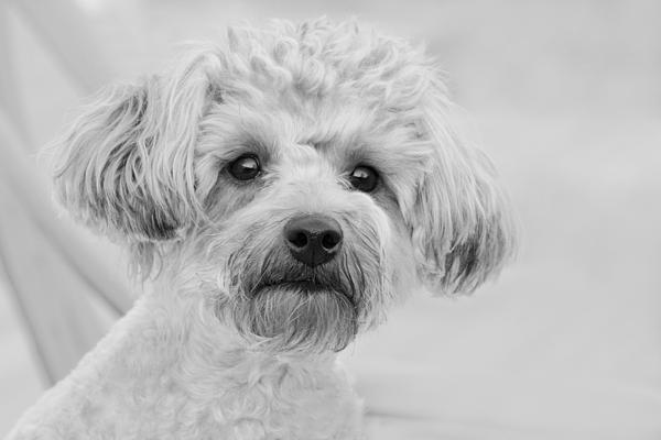 Abby Photograph - Awesome Abby The Yorkie-poo by Kathy Clark