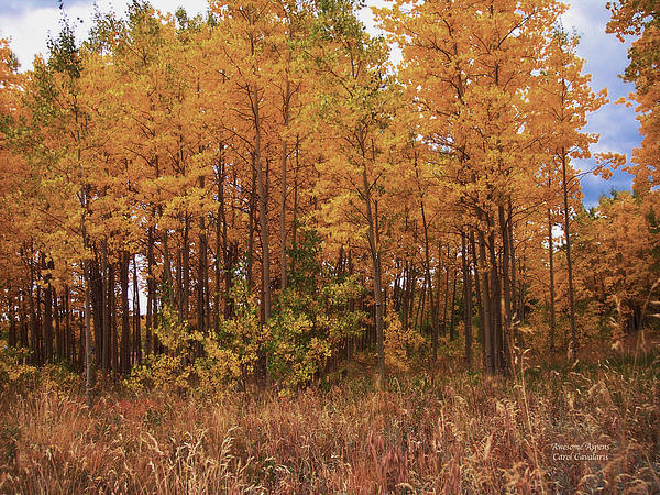 Aspen Tree Mixed Media - Awesome Aspens by Carol Cavalaris