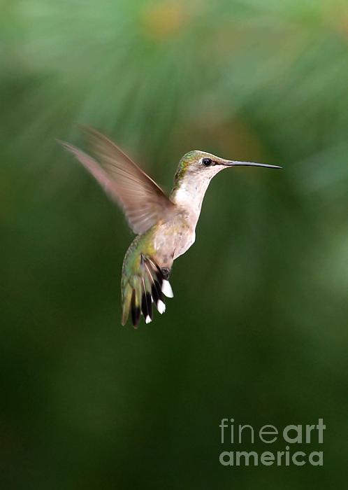 Hummer Photograph - Awesome Hummingbird by Sabrina L Ryan