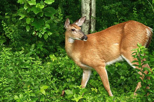 Deer Photograph - Backyard Doe by Karol Livote